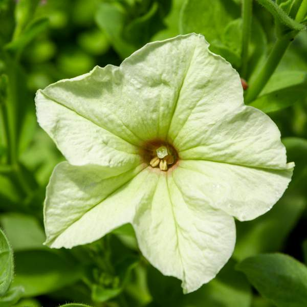Image Of Petunia Trailing Lime