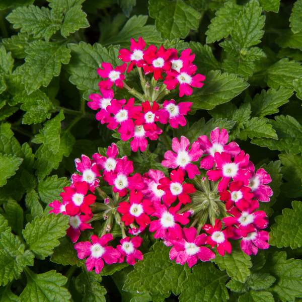 Verbena Alice Cheshire Pink - Rooted Cutting Liner