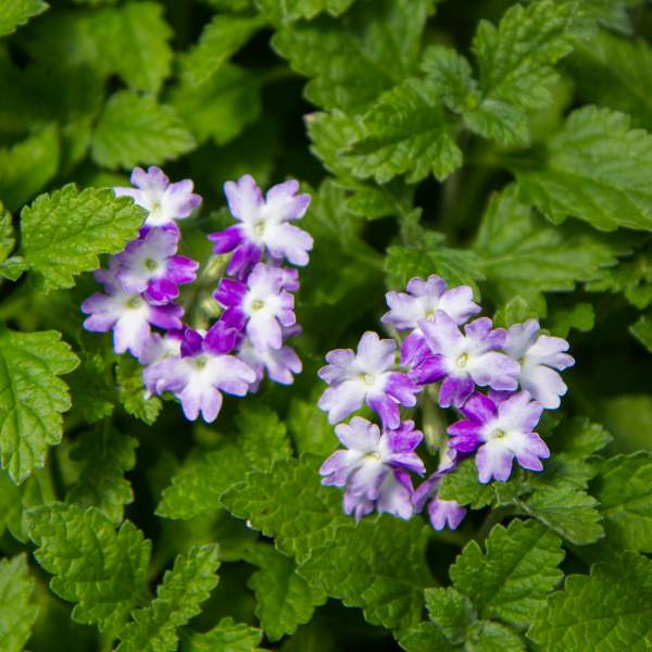 Image Of Verbena Alice Mad Hatter