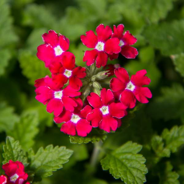 Image Of Verbena Alice Off With Her Red