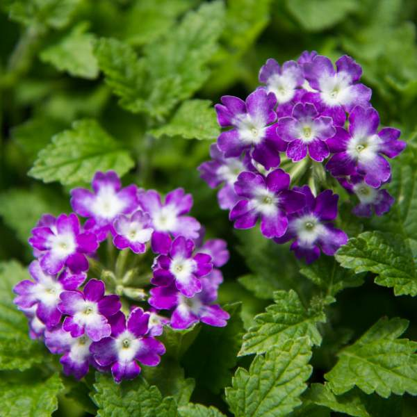 Image Of Verbena Alice Purple Tart