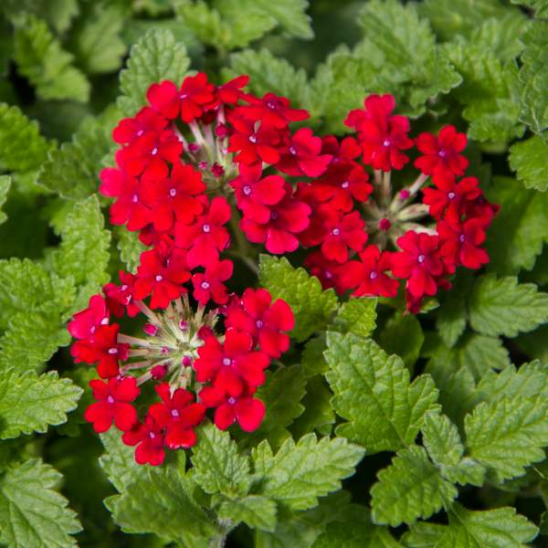 Image Of Verbena Alice Red Of Hearts