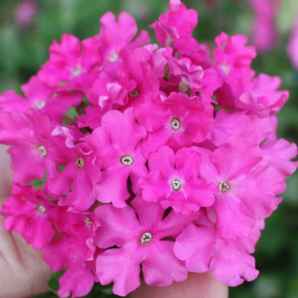 Image Of Verbena Carolina Perfect Pink