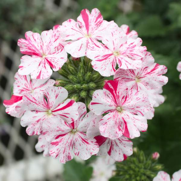 Verbena Carolina Pink Bicolor - Rooted Cutting Liner