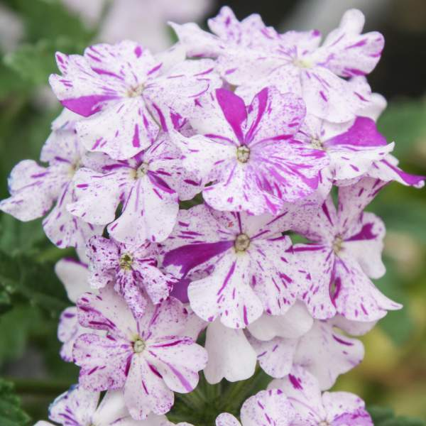 Image Of Verbena Carolina Purple Bicolor