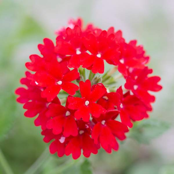 Image Of Verbena Trailing Homestead Red