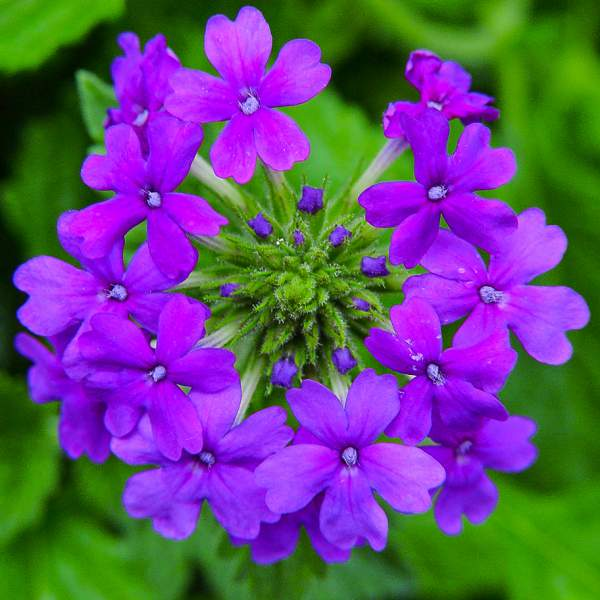 Image Of Verbena Trailing Purple Homestead