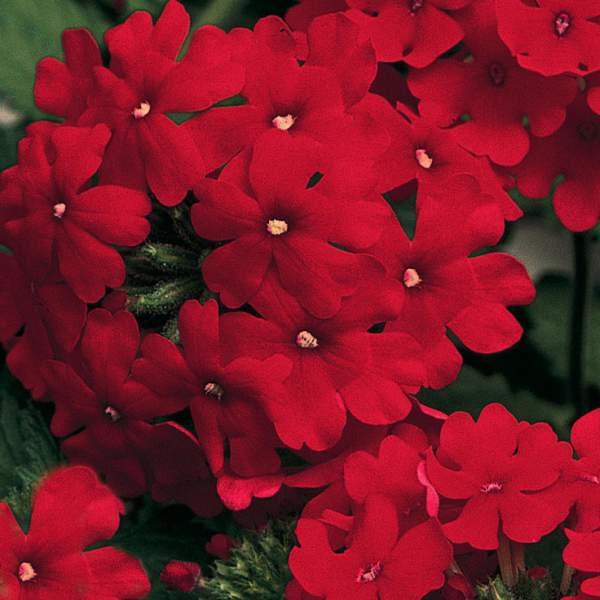Image Of Verbena Trailing Improved Red