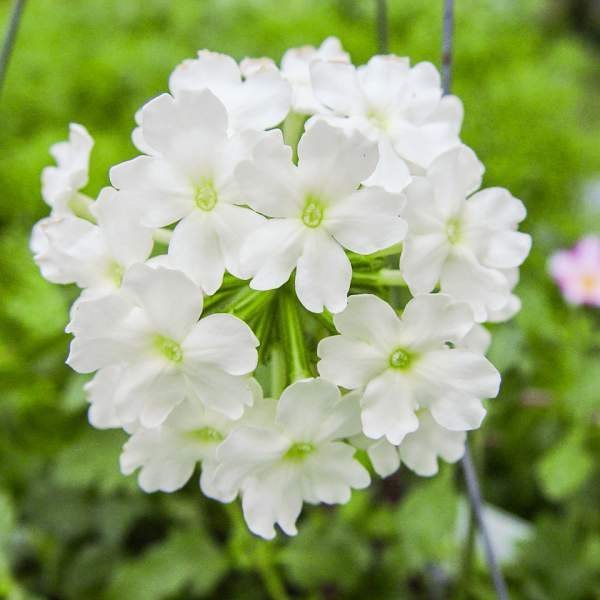 Image Of Verbena Trailing White