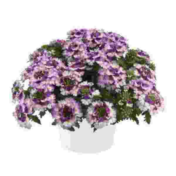 Verbena Vanessa Compact Bicolor Purple - Rooted Cutting Liner