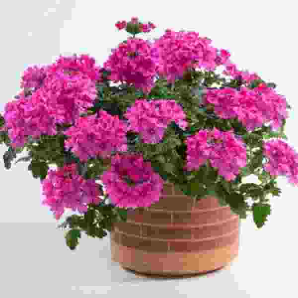 Verbena Vanessa Compact Deep Pink - Rooted Cutting Liner
