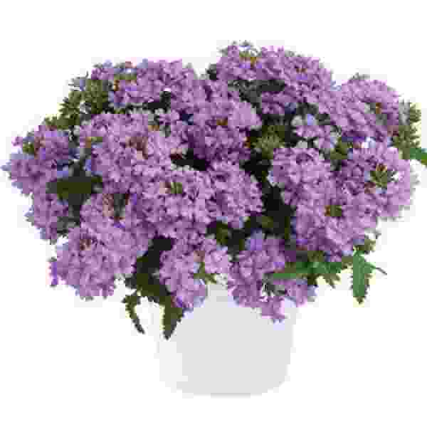 Verbena Vanessa Compact Lavender - Rooted Cutting Liner