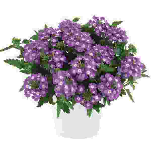 Verbena Vanessa Compact Optik Lavender - Rooted Cutting Liner