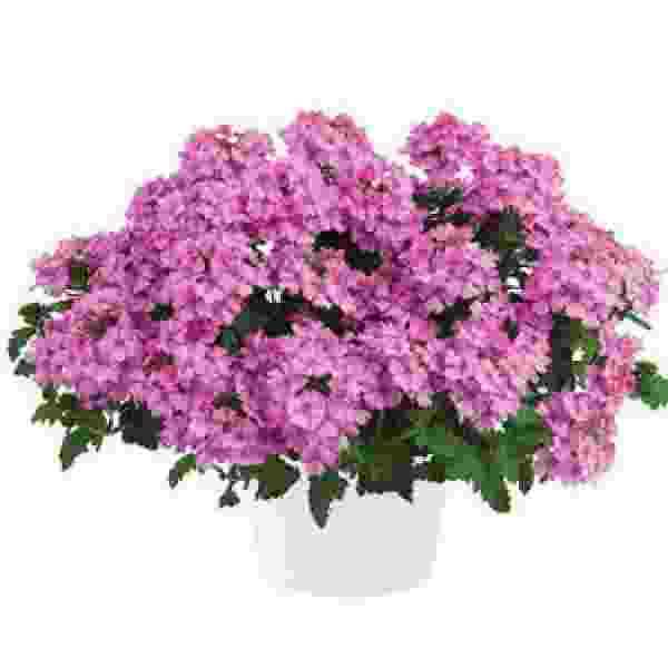 Verbena Vanessa Compact Pink - Rooted Cutting Liner
