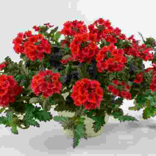 Verbena Vanessa Compact Red - Rooted Cutting Liner