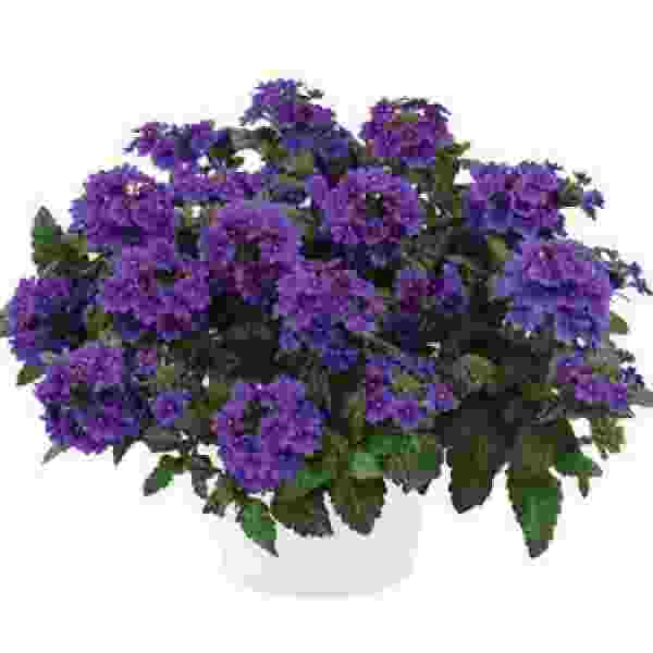 Image Of Verbena Vanessa Purple