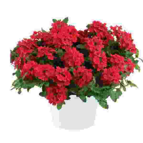 Image Of Verbena Vanessa Red