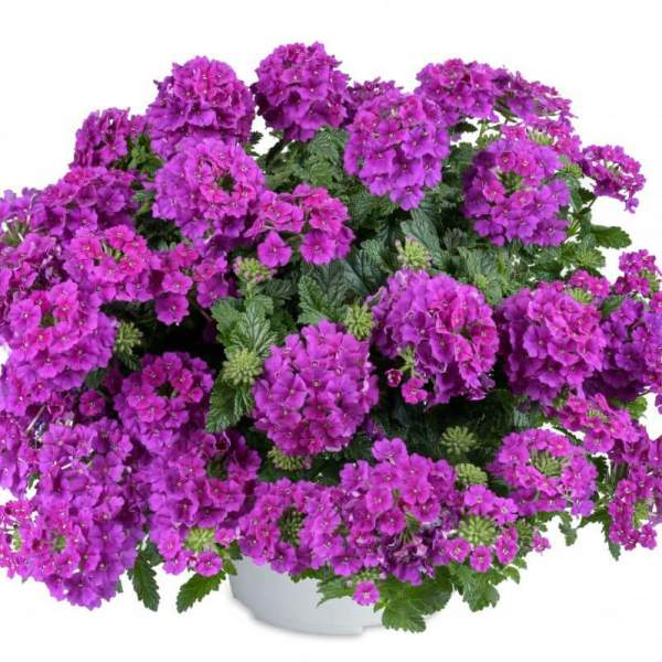Verbena Vanessa Violet - Rooted Cutting Liner