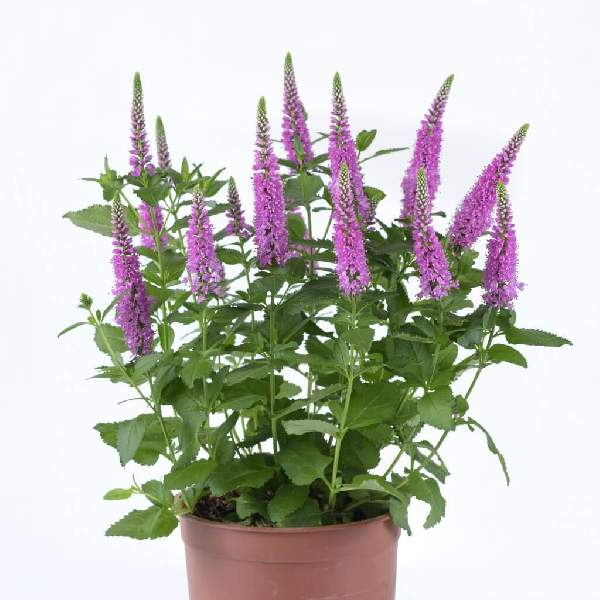 Veronica Ronica Fuchsia - Rooted Cutting Liner