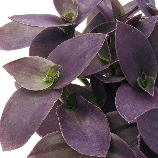 Wandering Jew Purple Fuzzy - Rooted Cutting Liner