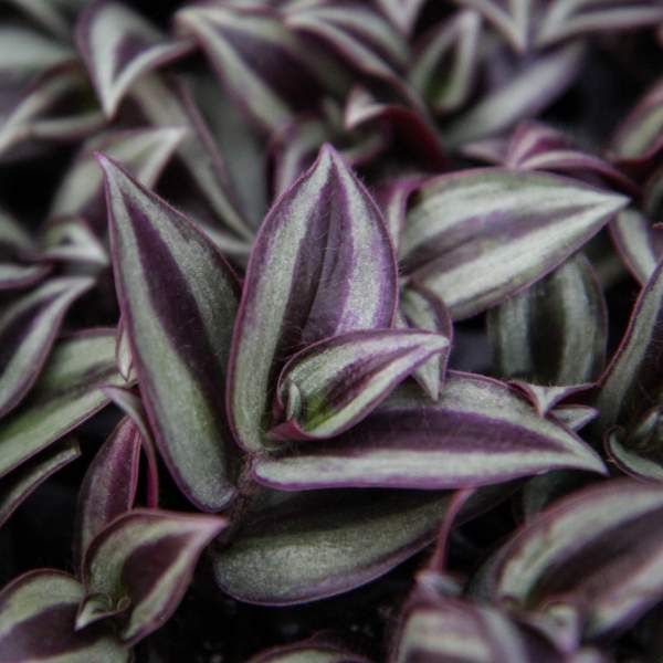 Wandering Jew Purple - Rooted Cutting Liner