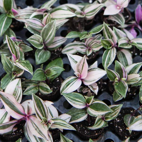 Image Of Wandering Jew Rainbow