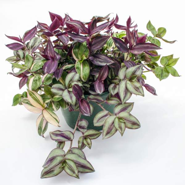 Wandering Jew Combo Rhapsody - Unrooted Cuttings
