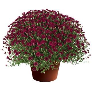 Image Of Yoder Garden Mum Arlette Purple
