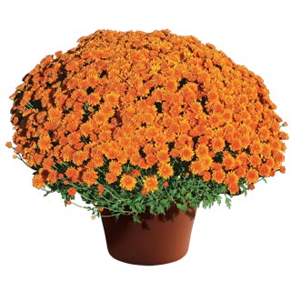 Yoder Garden Mum Aubrey Orange