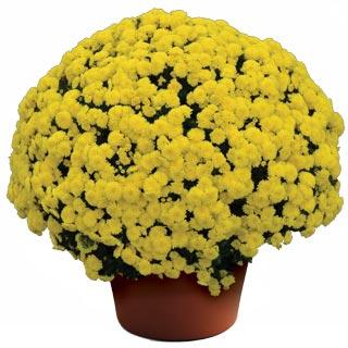 Image Of Yoder Garden Mum Bethany Yellow