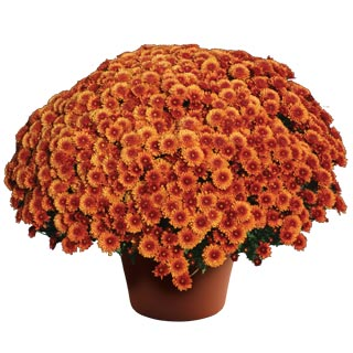 Yoder Garden Mum Beverly Bronze - Rooted Cutting Liner