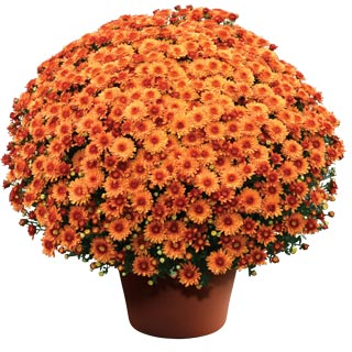 Yoder Garden Mum Beverly Orange
