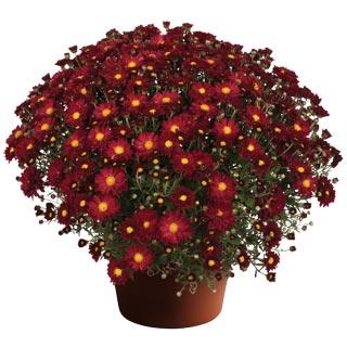 Image Of Yoder Garden Mum Bonnie Red