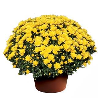 Image Of Yoder Garden Mum Brittany Yellow