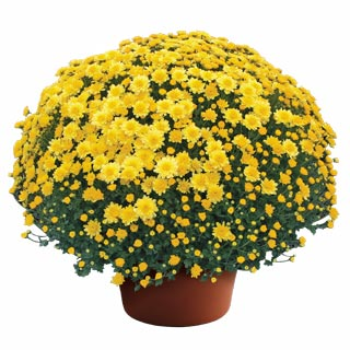 Yoder Garden Mum Chelsey Yellow - Rooted Cutting Liner
