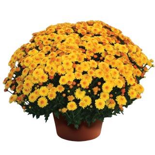 Image Of Yoder Garden Mum Cheryl Golden