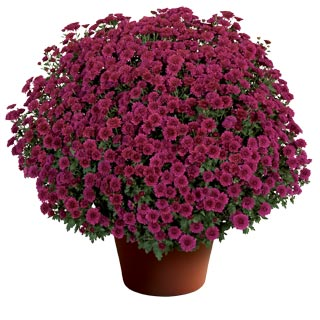 Yoder Garden Mum Cheryl Regal Purple