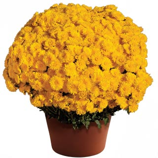 Image Of Yoder Garden Mum Cheryl Sparkling Yellow