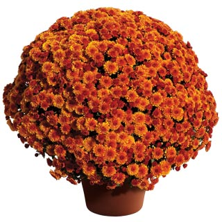 Yoder Garden Mum Cheryl Spicy Orange