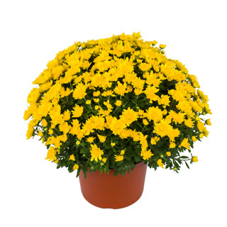 Yoder Garden Mum Chloe Yellow - Rooted Cutting Liner