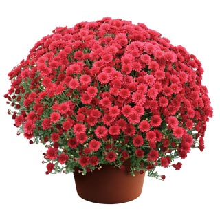 Yoder Garden Mum Christina Red