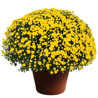 Yoder Garden Mum Dawn Yellow