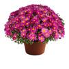 Image Of Yoder Garden Mum Demi Pink
