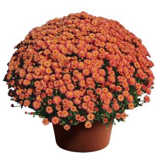 Image Of Yoder Garden Mum Gigi Coral