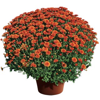 Yoder Garden Mum Hailey Orange