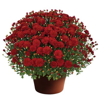 Yoder Garden Mum Hestia Hot Red