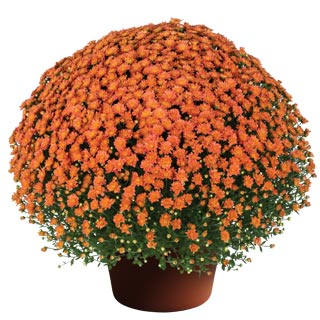 Yoder Garden Mum Jacqueline Orange Fusion - Rooted Cutting Liner