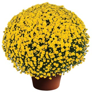 Image Of Yoder Garden Mum Jacqueline Yellow