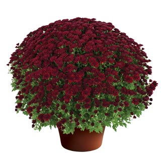 Image Of Yoder Garden Mum Kathleen Dark Red