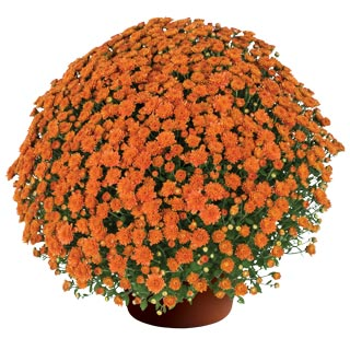 Yoder Garden Mum Keeley Orange